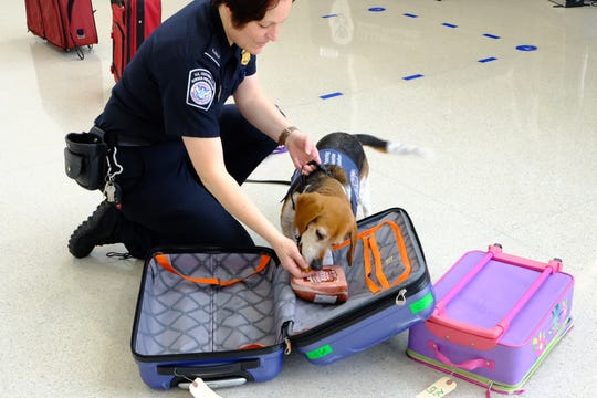 CeeLo, a CBP agriculture K-9, sniffs out ham in a line of suitcases at Detroit Metro Airport on May 30, 2019.
