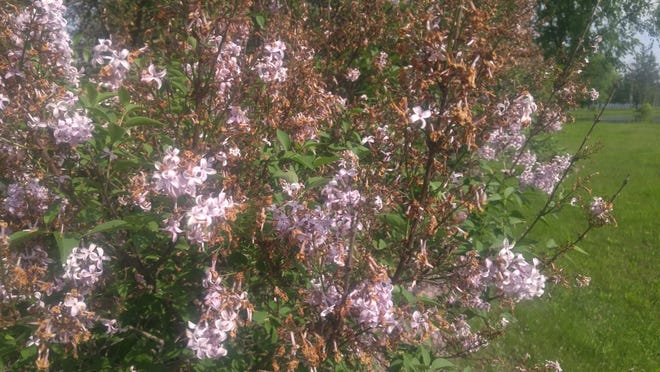 Remove spent lilac flowers just as they begin to turn brown.