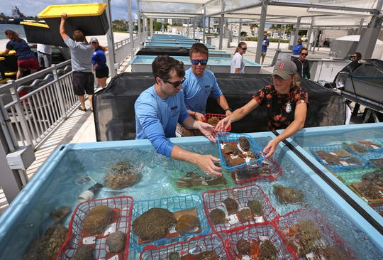 Marine bio graduate students from NSU, Matthew Rojano, Justin Pitschmann and Murphy McDonald, rush to gently place rescued coral into tanks.