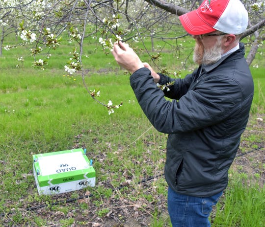 Cherry farmer Nels Veliquette checks a box of bumble bees in a tart cherry orchard north of Acme, Michigan Friday, May 24, 2019. Using bees to pollinate the buds on the trees is just part of the cost of producing a healthy and successful crop.