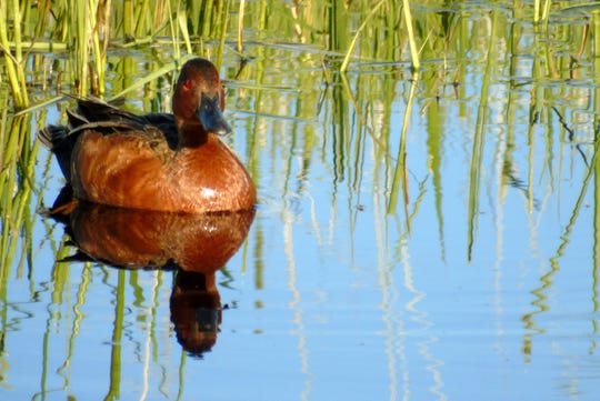 A Cinnamon Teal duck glides through the water at Benton Lake National Wildlife Refuge.