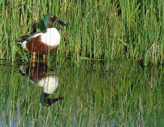 A Northern Shoveler duck wades at Benton Lake National Wildlife Refuge