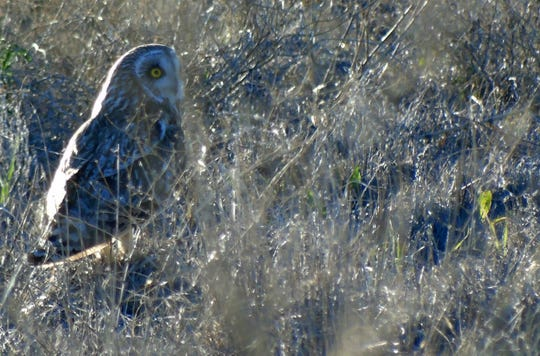 An owl hides in the grass at Benton Lake National Wildlife Refuge on a recent late-spring evening. The refuge is open until half an hour after sunset.