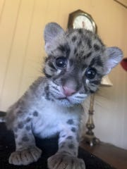 Belle the baby clouded leopard is Zoosiana's newest edition