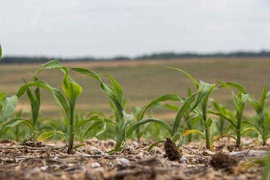 Young corn sprouts from the ground on a farm in in West Louisville, Kentucky. May 23, 2019.