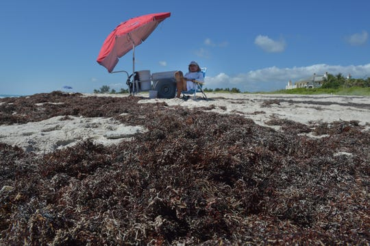 "Surrounded by sargassum seaweed, Niccola Arnaldi, of Palm Beach County, watches a row of his fishing poles at the edge of the surf while tolerating the smelly seaweed covering the shoreline on Thursday, May 30, 2019, at Round Island Beach Park, in Indian River County. ""It's horrible,"" Arnaldi said. ""People that come on vacation bring their kids, and they go on the beach, and it's disgusting, they can't even sit down in the sand because it's filled with seaweed."""