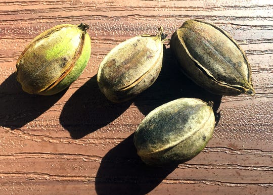 Disease known as pecan scab could be causing nuts to discolor and drop from the tree too soon. As you spray for pecan nut casebearer in the spring each year you want to include a labeled fungicide with each application.
