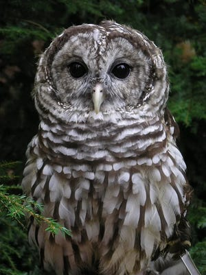Artemis, a Barred Owl which came to the WNC Nature Center in 1999, has died.