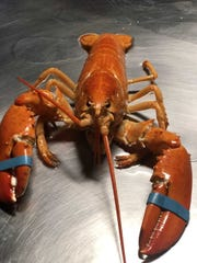 A close-up look at one of the rare orange lobsters discovered in a shipment by a Hy-Vee food distribution subsidiary on May 30, 2019.