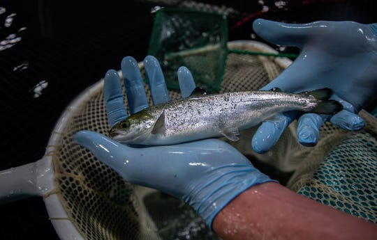 Peter Bowyer, farm manager holds Atlantic salmon weighting 3.5 oz. raised at the AquaBounty Farms Indiana, a commercial fish farm in Albany, Ind., on Tuesday, April 30, 2019.