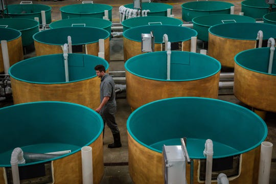 Peter Bowyer, farm manager inspects tanks at AquaBounty Farms Indiana, a commercial fish farms raising Atlantic salmon in Albany, Ind., on Tuesday, April 30, 2019.