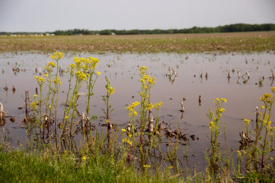 Mustard grows in a field behind the West Lafayette Fire Station 3, Friday, May 31, 2019, in West Lafayette.