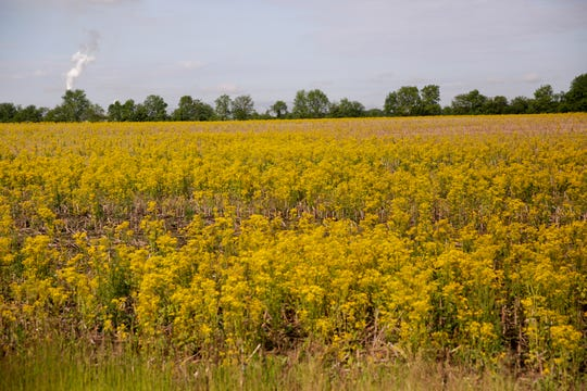 Mustard grows in a field on Veterans Memorial Parkway East, Friday, May 31, 2019, in Lafayette.