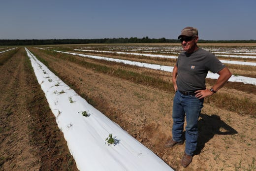 Bruce Kirksey, director of research at Agricenter International, stands in a three-acre hops test field where they have been working on creating strands that can thrive in the Mid-South climate.