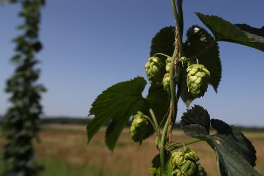 Agricenter International has been in testing phases to create strands of barley and hops it believes can flourish in the Mid-South, a region that hasn't traditionally farmed the crops.