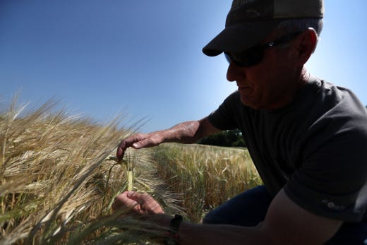 ruce Kirksey, director of research at Agricenter International, holds some of the barley grown on their test fields on Friday, May 31, 2019. Though the barley and hops grown for local Tennessee breweries have traditionally come from the pacific northwest, and elsewhere outside of the state, the Agricenter is hoping to see strands they've cultivated for the local climate to be used by breweries as soon as this fall.