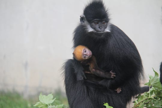 Jean Grey, mom, holds her bright orange five-day-old baby as people pass by. She gave birth in the early mornings of Memorial day, and has been monitored closely by the zoo keepers.