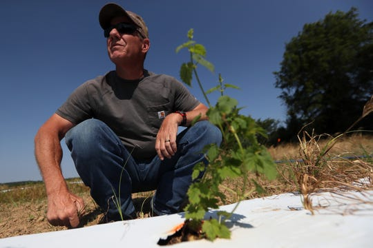 Bruce Kirksey, director of research at Agricenter International, squats down to inspect a plant that is part of a 3-acre hops test field where the Agricenter has been working on creating strands that can thrive in the Mid-South climate.