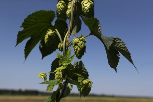 Hops growing at Agricenter International on Friday, May 31, 2019. The center has been in testing phases to create strands of barley and hops they believe can flourish in the Mid-South, a region that hasn't traditionally farmed the crops.