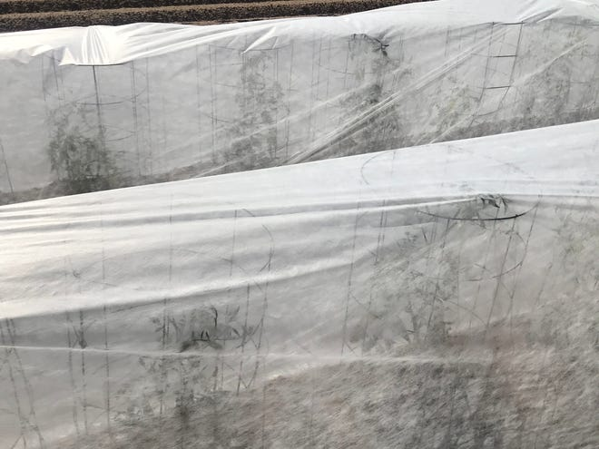 Rows of tomato plants, each in individual cages, at the NMSU Los Lunas Agricultural Science Center are covered with frost protection cloth to reduce exposure to the beet leafhopper insect and the curly top virus infection.