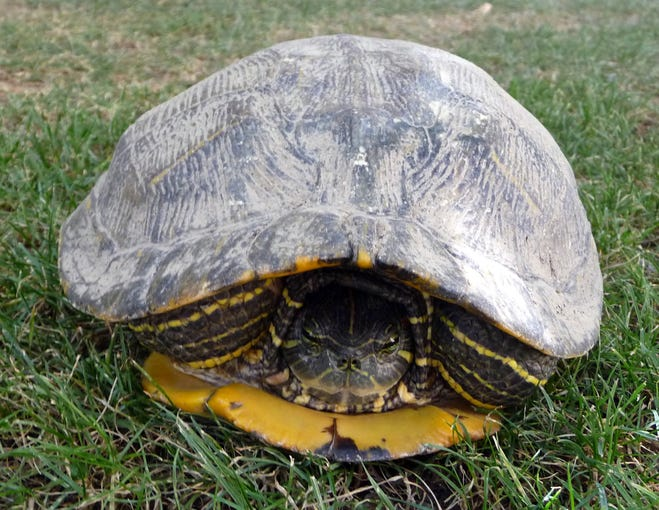Our reader spotted this turtle on his lawn keeping cool in Scottsdale.