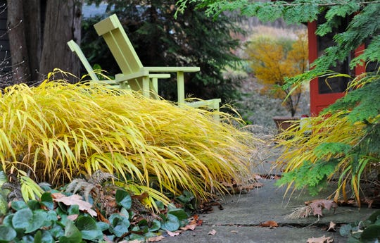 From the time it emerges in late April or early May, right through autumn and hard frost, the Japanese forest grass for semi-shade called Hakonechloa macra 'All Gold' earns its keep.