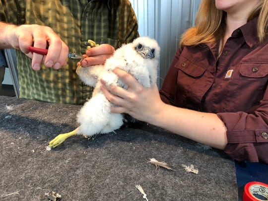 On Friday, DEC workers fit baby peregrine falcon Donna with an identifying metal band.