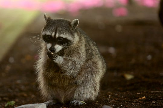 A raccoon in Salem on May 30, 2019.