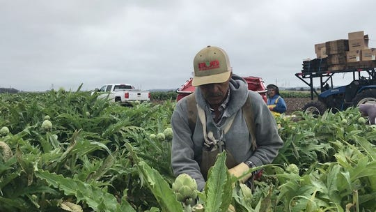 In this file photo from May 2019, a picker for Ocean Mist Farms cuts an artichoke from the bush.
