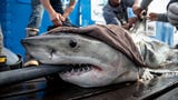 Brunswick, a white shark, was tagged by OCEARCH off Hilton Head, S.C., in 2019. He is 8 foot, 9 inches and weighs 431.54 pounds.