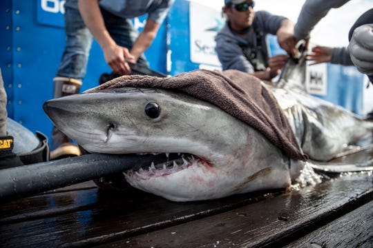 Brunswick, a tagged great white shark, swam on the ocean's surface early Friday morning off the coast of Delmarva.
