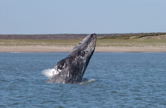 Gray whales number about 27,000 along the West Coast of North America.
