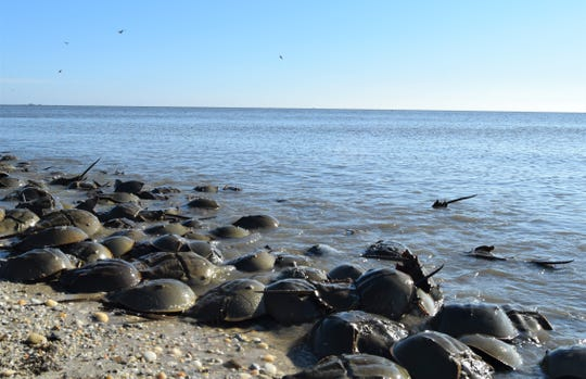 Horseshoe crabs spawn along the shores of the Delaware Bay in the spring. There are millions of horseshoe crabs living in the Delaware Bay alone, which supports the largest spawning population in the world.