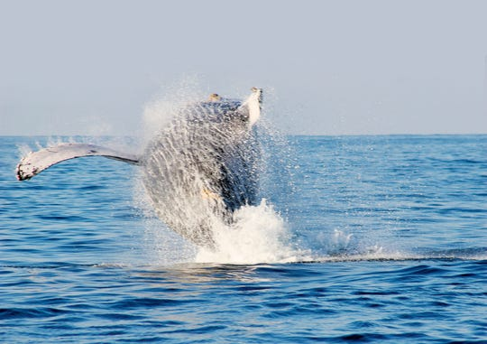Whale watching in Riviera Nayarit's Banderas Bay season kicks off on Dec. 8 and winds down by end of March.
