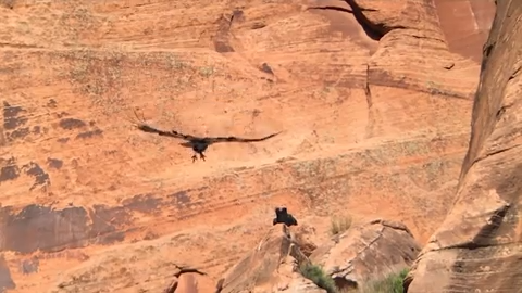 Zion National Park home to California condor chick, landmark moment for endangered bird.