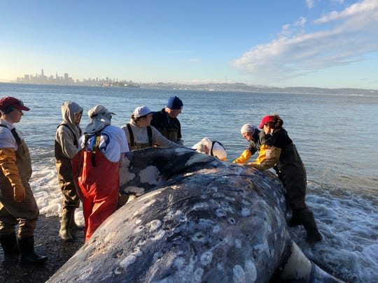 A team from The Marine Mammal Center completes a necropsy on a gray whale stranded at Angel Island State Park, California, May 12, 2019. Photo by Cara Field/:copyright:The Marine Mammal Center under NOAA Fisheries Marine Mammal Health and Stranding Response Program permit 18786-03.