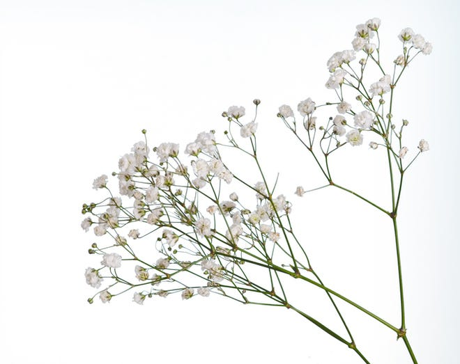 Closeup of small white gypsophila flowers isolated on white.