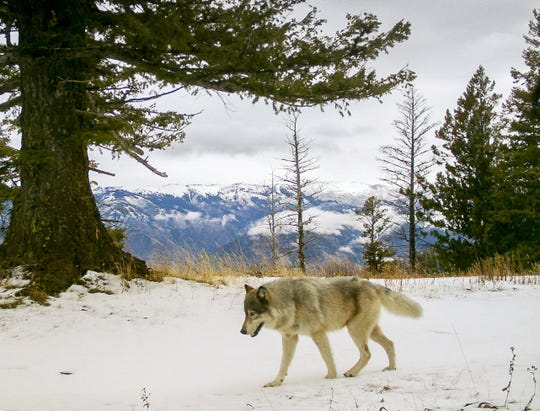 FILE -In this Dec. 4, 2014 file photo released by the Oregon Department of Fish and Wildlife, a wolf from the Snake River Pack passes by a remote camera in eastern Wallowa County, Ore. Scientists tasked with reviewing the government's plans to lift protections for gray wolves across most of the U.S. say the proposal has numerous flaws. (Oregon Department of Fish and Wildlife via AP, File)