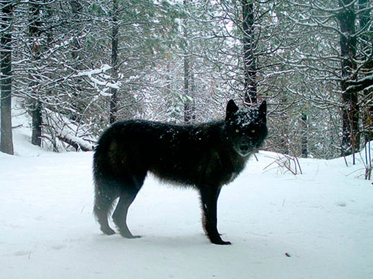 FILE - This Feb., 2017, file photo provided by the Oregon Department of Fish and Wildlife shows a gray wolf of the Wenaha Pack captured on a remote camera on U.S. Forest Service land in Oregon's northern Wallowa County. Scientists say a plan to lift proposals for the species across the Lower 48 is flawed. (Oregon Department of Fish and Wildlife via AP, File)