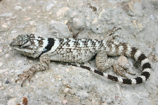 The crevice spiny lizard's favorite haunts include limestone fissures found in outcroppings, as well as along the top of mesas that dot the Trans-Pecos