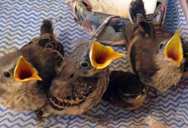 These baby northern Mockingbirds were rescued by St. Francis Wildlife.