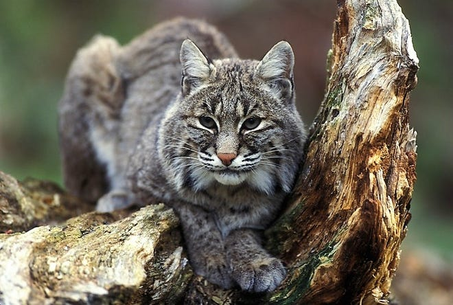 Bobcats once native to Ohio are finding their way back into the local due to reclaimed forests and natural recovery of woodlands.