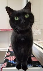 Callie is an adult cat who has her front paws declawed.