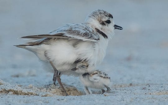 Sometimes you just need mom or dad: Snowy plover chicks find refuge under a parent on the south end of Fort Myers Beach on Wednesday May, 29, 2019. The birds nest in that area along with a colony of least terns. Snowy Plovers are listed as Near Threatened on the IUCN Red List. Officials who monitor the colony of terns and plovers urge beachgoers to be cautious around the nesting site. Eggs and chicks blend in to the beach. The area is staked off but caution is still advised. Photographed with a 600 mm lens with a 2x converter.