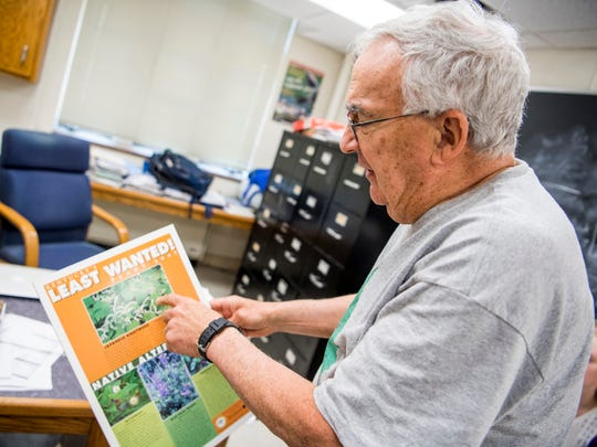 Daniel Simberloff, an environmental scientist at the University of Tennessee, points out features on the Japanese knotwood, an invasive plant appearing in East Tennessee, in his office on UT's campus on Monday, June 3, 2019.