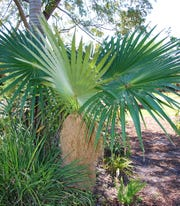 Old Man palms are averse to cold and must be protected from frost. They prefer full sun locations, though will tolerate a bit of shade. This palm will grow in most well-drained soils, even the highly alkaline soils of south Florida and they are very drought tolerant once well established in the landscape.