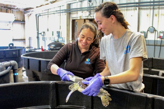 In this May 24, 2019 photo, provided by the Texas State Aquarium, wildlife rescue staff Emma Gilbert, left, and Joleene Zamora care for a sea turtle during rescue and rehabilitation at the Texas State Aquarium Wildlife Rescue Center in Corpus Christi, Texas.