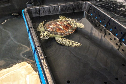 In this May 24, 2019 photo, provided by the Texas State Aquarium, a sea turtle is seen during rescue and rehabilitation at the Texas State Aquarium Wildlife Rescue Center in Corpus Christi, Texas.