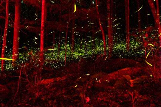 Synchronous fireflies light up the trees along a trail at the Elkmont Campground in the Great Smoky Mountains National Park on June 3, 2019.