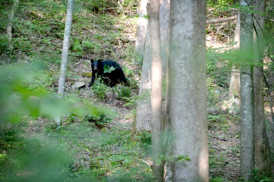 A baby bear climbs a tree off of a trail at the Elkmont Campground in the Great Smoky Mountains National Park on June 3, 2019.
